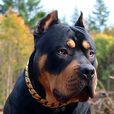 Biggest Pitbulls and Bullies  Home of King Louii - Monster