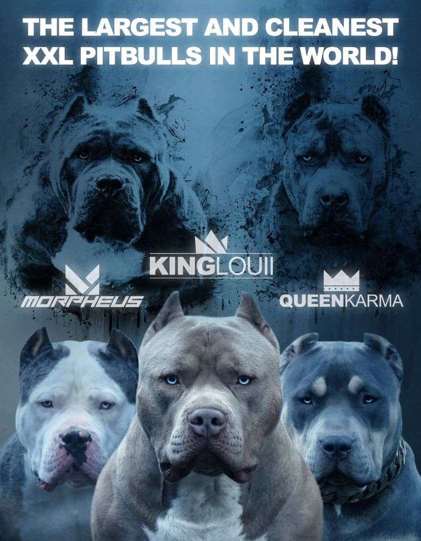 Xl Pitbull Xl Bullies Puppies Blue Nose Pits Monster Bully Kennels